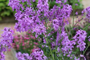 Flowers at Kenilworth Castle Gardens