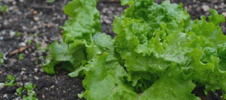 lettuce-ipiccy