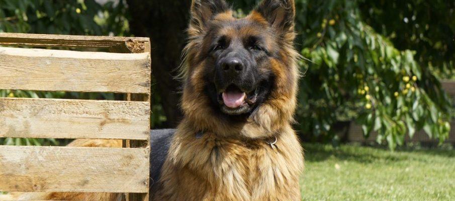 schafer-dog-4267734_1280